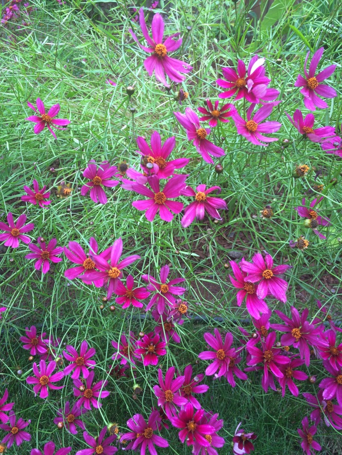 better-coreopsis