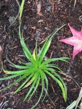 Eryngium aff. latifolium