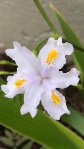 Iris 'Nada'