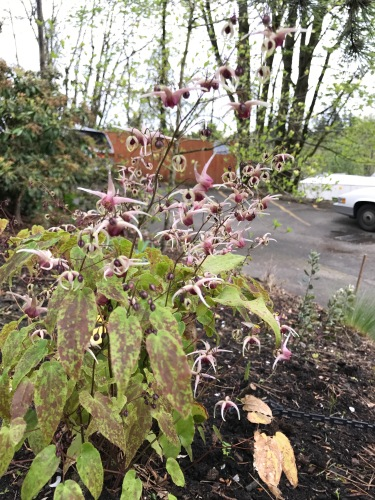 Epimedium (lost tag)