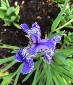 Iris from fall swap