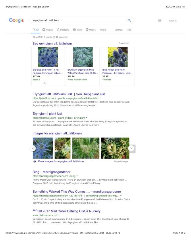eryngium aff. latifolium - Google Search